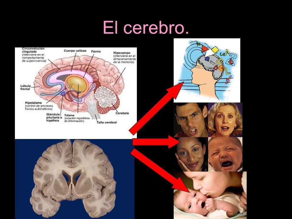 El cerebro.