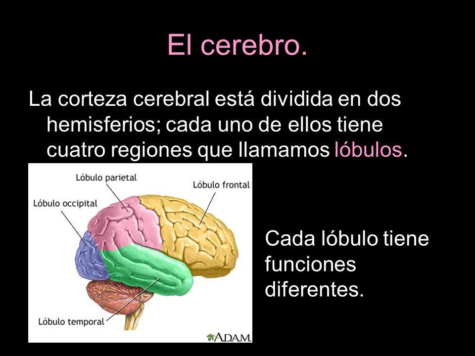La corteza cerebral está dividida en dos hemisferios; cada uno de ellos tiene cuatro regiones que llamamos lóbulos. Cada lóbulo tiene funciones difere