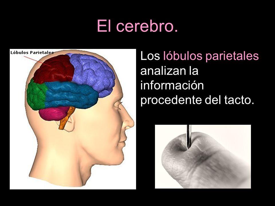 Los lóbulos parietales analizan la información procedente del tacto.