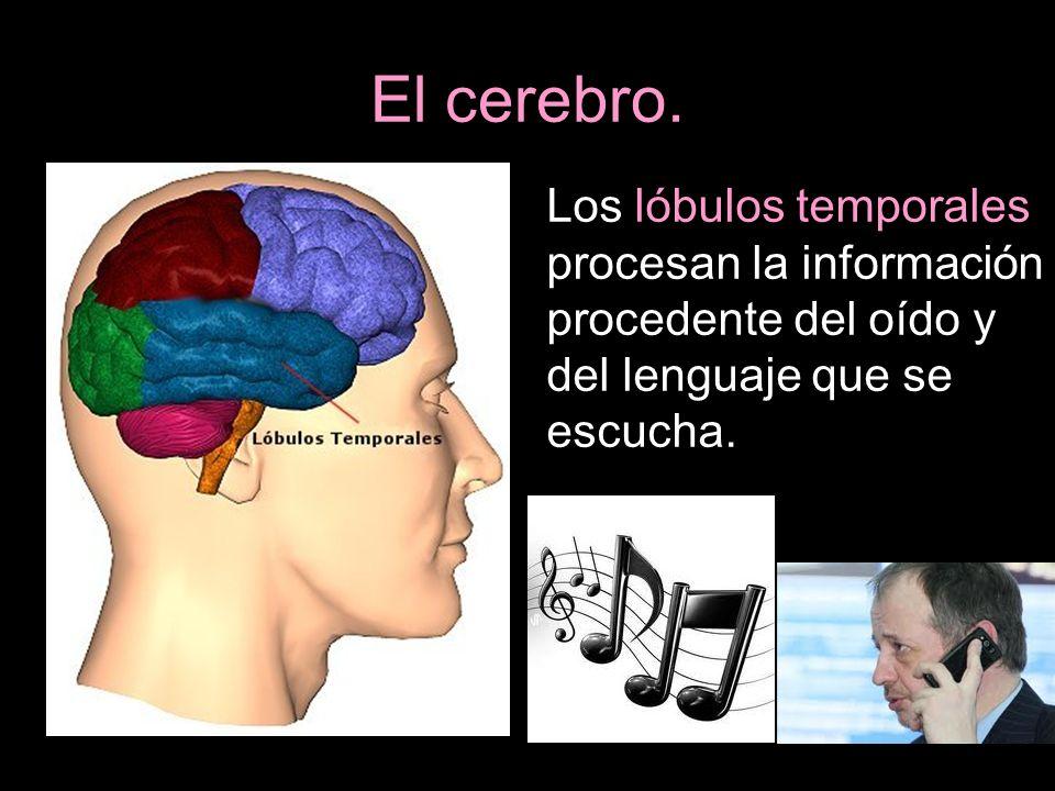 El cerebro. Los lóbulos temporales procesan la información procedente del oído y del lenguaje que se escucha.