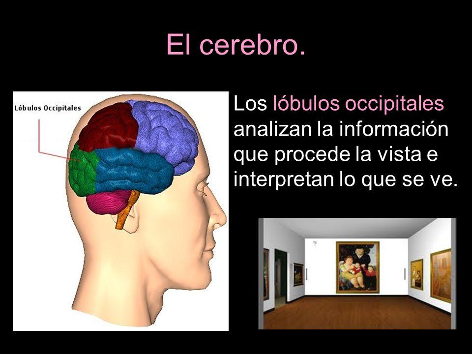 El cerebro. Los lóbulos occipitales analizan la información que procede la vista e interpretan lo que se ve.