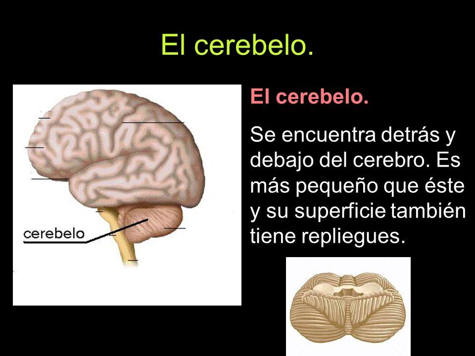 El cerebelo. Se encuentra detrás y debajo del cerebro. Es más pequeño que éste y su superficie también tiene repliegues.