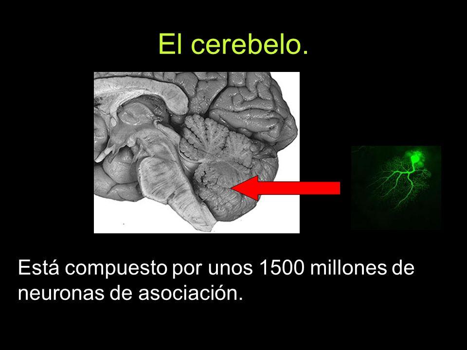 El cerebelo. Está compuesto por unos 1500 millones de neuronas de asociación.