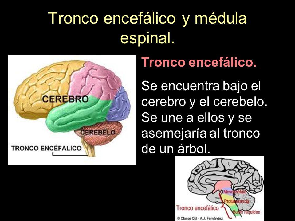 Tronco encefálico y médula espinal. Tronco encefálico. Se encuentra bajo el cerebro y el cerebelo. Se une a ellos y se asemejaría al tronco de un árbo