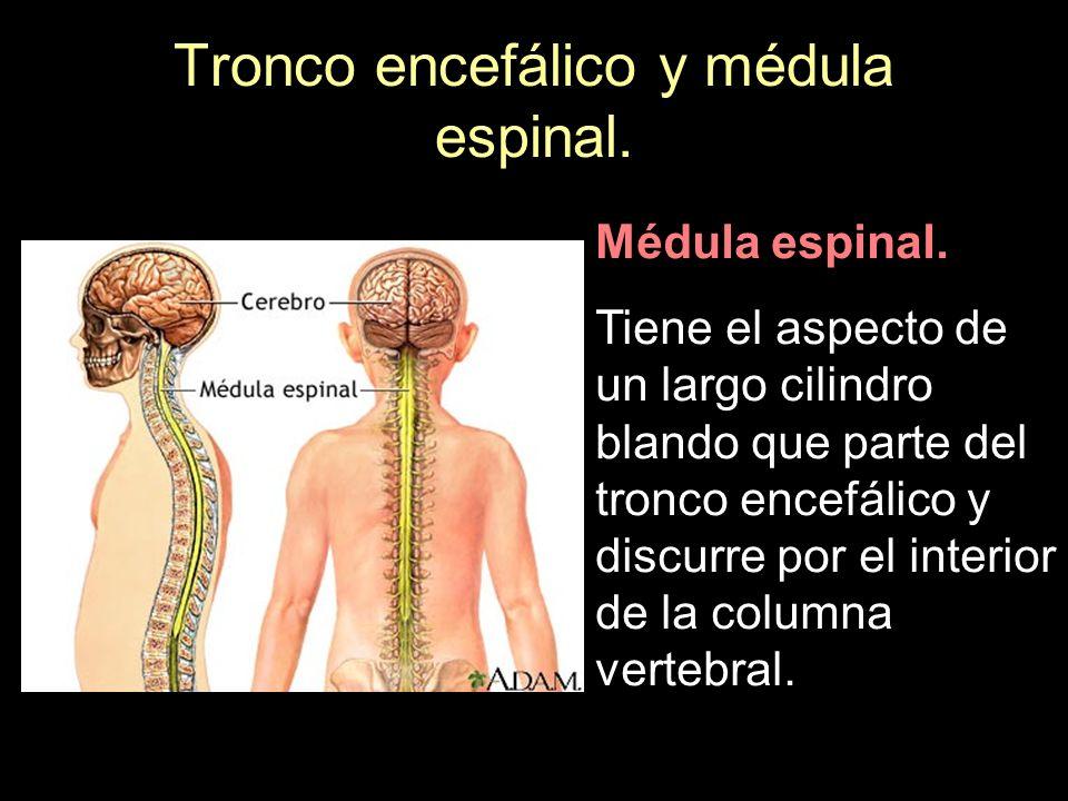 Tronco encefálico y médula espinal. Médula espinal. Tiene el aspecto de un largo cilindro blando que parte del tronco encefálico y discurre por el int