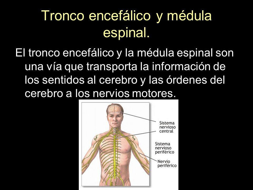 Tronco encefálico y médula espinal. El tronco encefálico y la médula espinal son una vía que transporta la información de los sentidos al cerebro y la