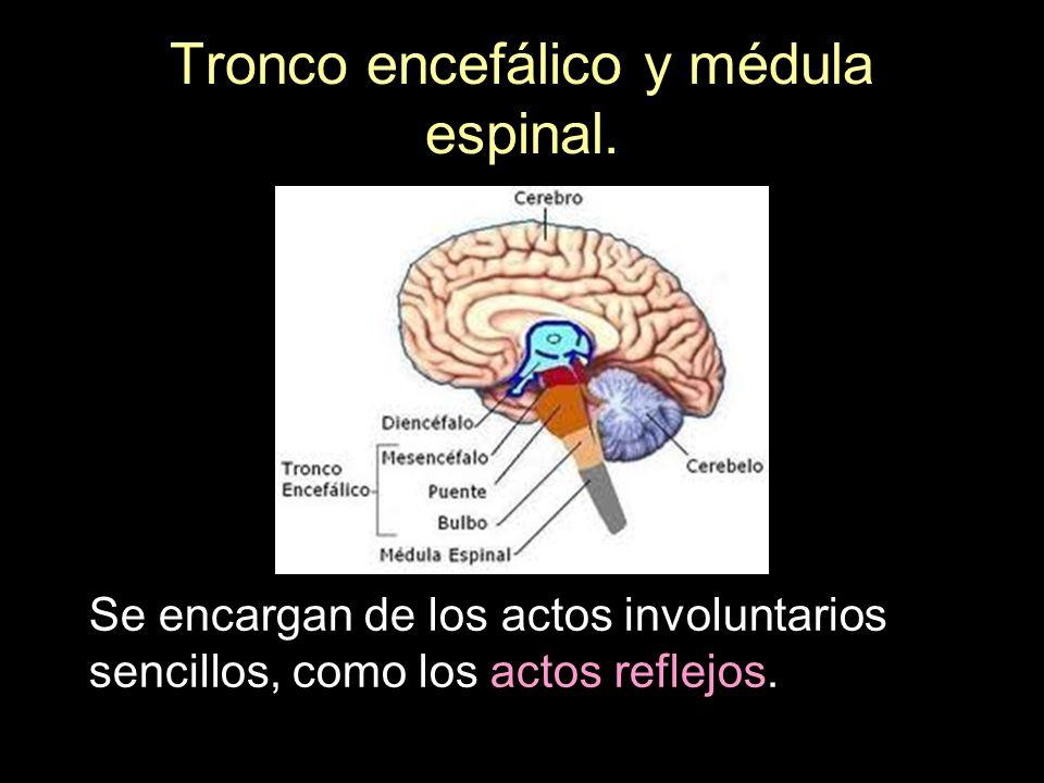 Tronco encefálico y médula espinal. Se encargan de los actos involuntarios sencillos, como los actos reflejos.