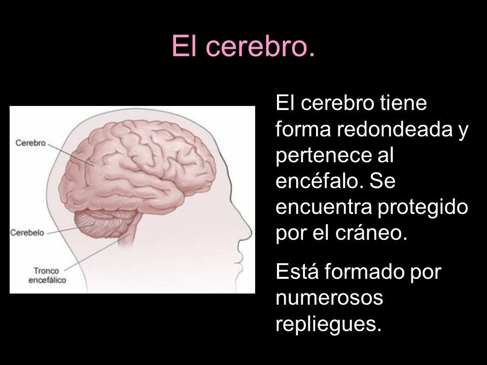 El cerebro. El cerebro tiene forma redondeada y pertenece al encéfalo. Se encuentra protegido por el cráneo. Está formado por numerosos repliegues.