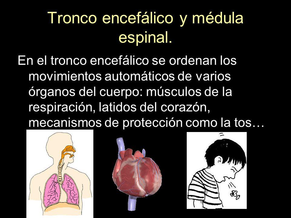 En el tronco encefálico se ordenan los movimientos automáticos de varios órganos del cuerpo: músculos de la respiración, latidos del corazón, mecanism