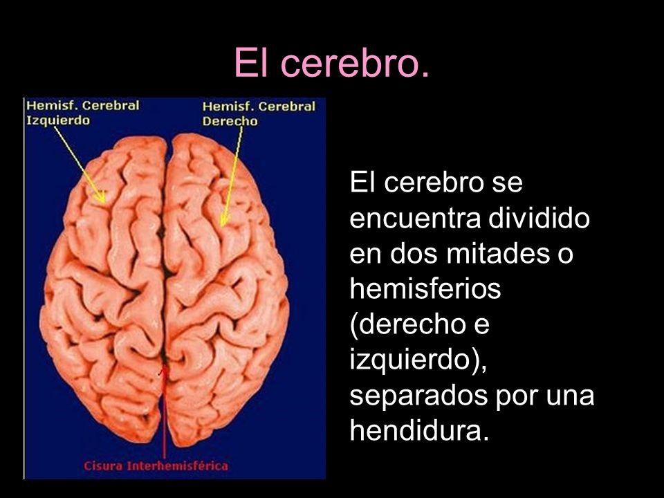 El cerebro. El cerebro se encuentra dividido en dos mitades o hemisferios (derecho e izquierdo), separados por una hendidura.
