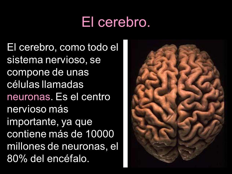 El cerebro. El cerebro, como todo el sistema nervioso, se compone de unas células llamadas neuronas. Es el centro nervioso más importante, ya que cont
