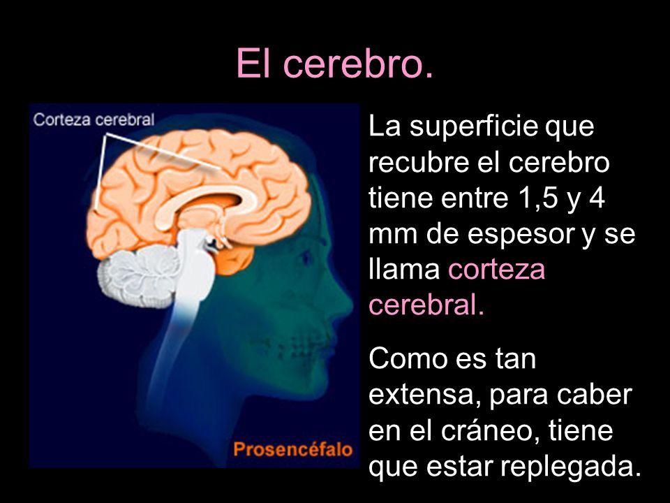 La superficie que recubre el cerebro tiene entre 1,5 y 4 mm de espesor y se llama corteza cerebral. Como es tan extensa, para caber en el cráneo, tien
