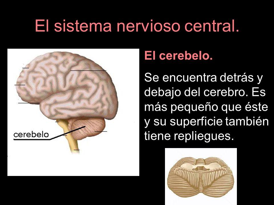 El sistema nervioso central. El cerebelo. Se encuentra detrás y debajo del cerebro. Es más pequeño que éste y su superficie también tiene repliegues.