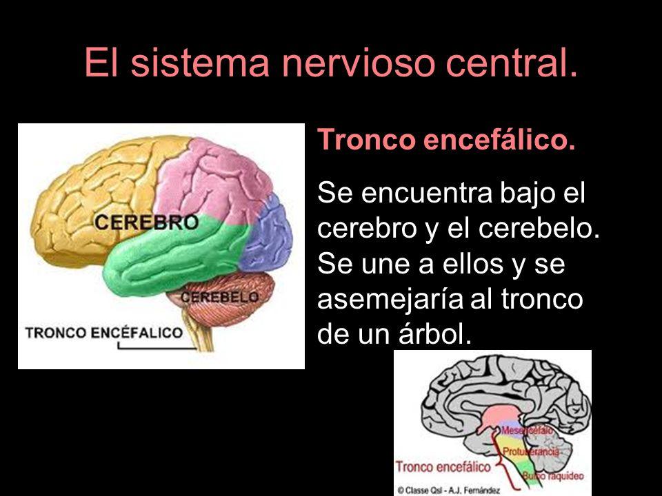 El sistema nervioso central. Tronco encefálico. Se encuentra bajo el cerebro y el cerebelo. Se une a ellos y se asemejaría al tronco de un árbol.