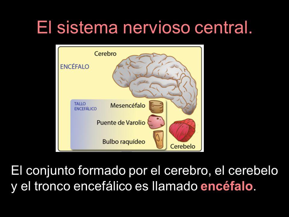 El sistema nervioso central. El conjunto formado por el cerebro, el cerebelo y el tronco encefálico es llamado encéfalo.
