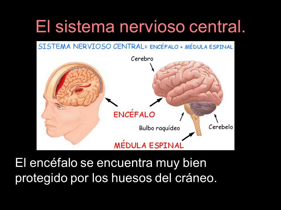 El sistema nervioso central. El encéfalo se encuentra muy bien protegido por los huesos del cráneo.