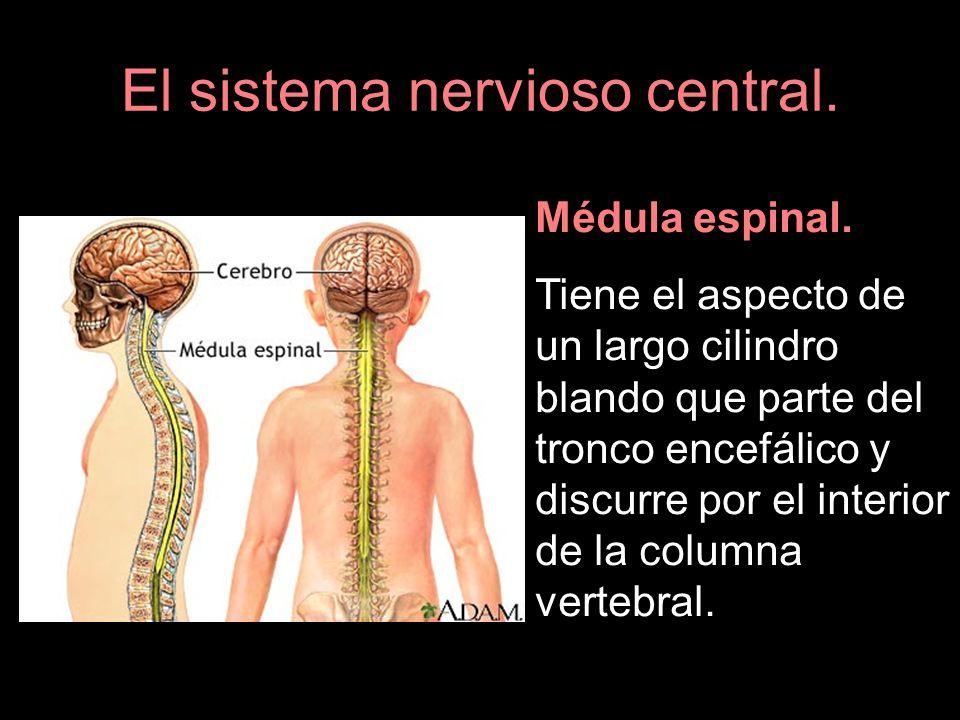 Médula espinal. Tiene el aspecto de un largo cilindro blando que parte del tronco encefálico y discurre por el interior de la columna vertebral.