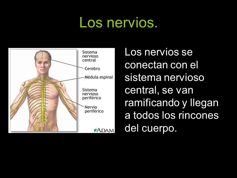 Los nervios. Los nervios se conectan con el sistema nervioso central, se van ramificando y llegan a todos los rincones del cuerpo.