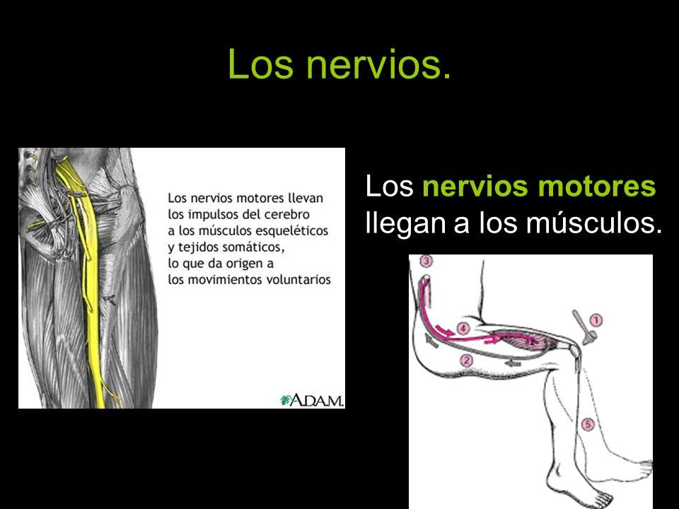 Los nervios motores llegan a los músculos.
