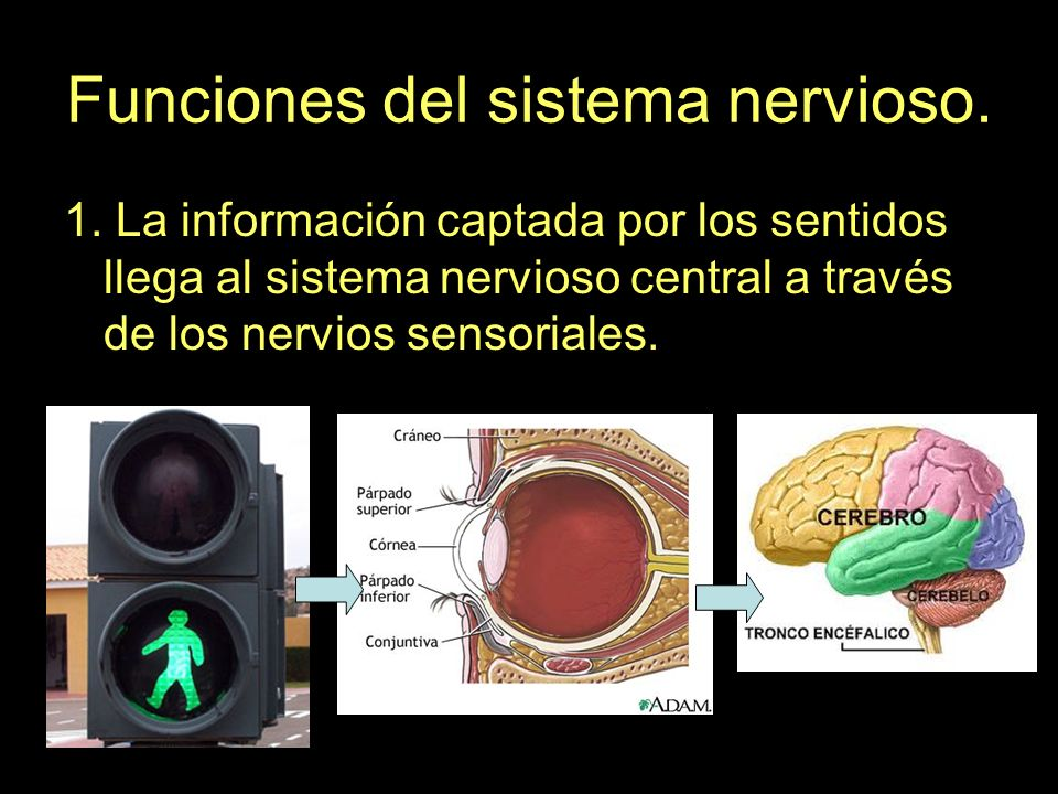 Funciones del sistema nervioso. 1. La información captada por los sentidos llega al sistema nervioso central a través de los nervios sensoriales.
