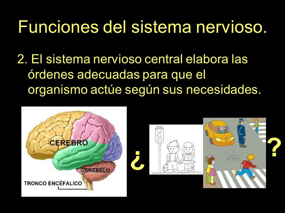 Funciones del sistema nervioso. 2. El sistema nervioso central elabora las órdenes adecuadas para que el organismo actúe según sus necesidades. ¿ ¿