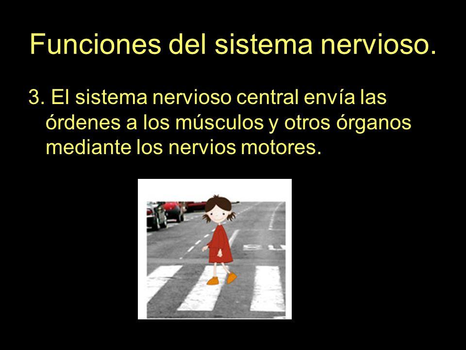 Funciones del sistema nervioso. 3. El sistema nervioso central envía las órdenes a los músculos y otros órganos mediante los nervios motores.