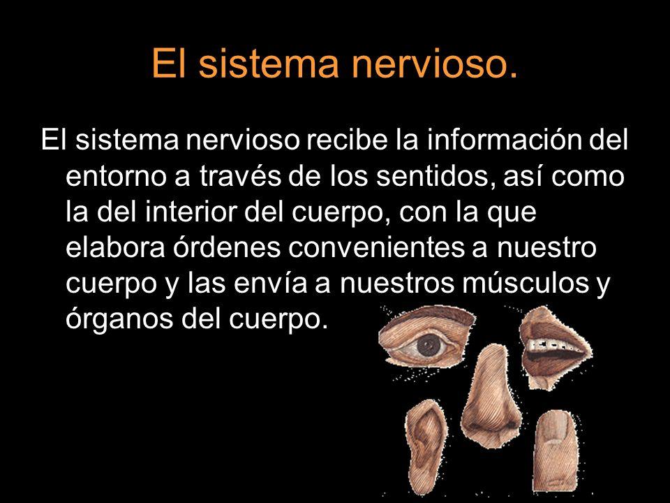 El sistema nervioso. El sistema nervioso recibe la información del entorno a través de los sentidos, así como la del interior del cuerpo, con la que e