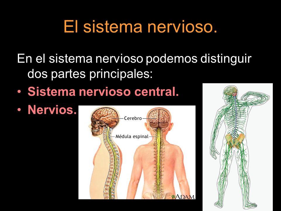 En el sistema nervioso podemos distinguir dos partes principales: Sistema nervioso central. Nervios.