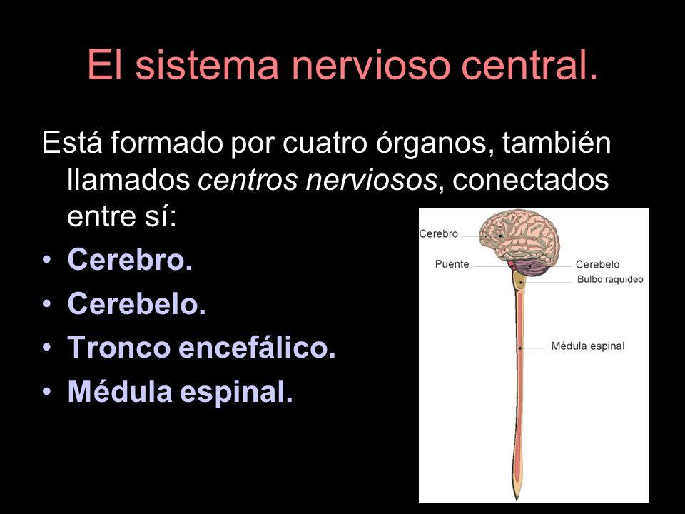 El sistema nervioso central. Está formado por cuatro órganos, también llamados centros nerviosos, conectados entre sí: Cerebro. Cerebelo. Tronco encef