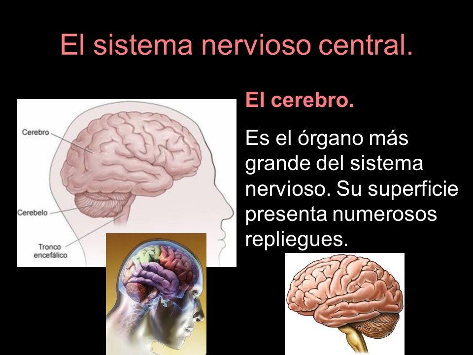El sistema nervioso central. El cerebro. Es el órgano más grande del sistema nervioso. Su superficie presenta numerosos repliegues.