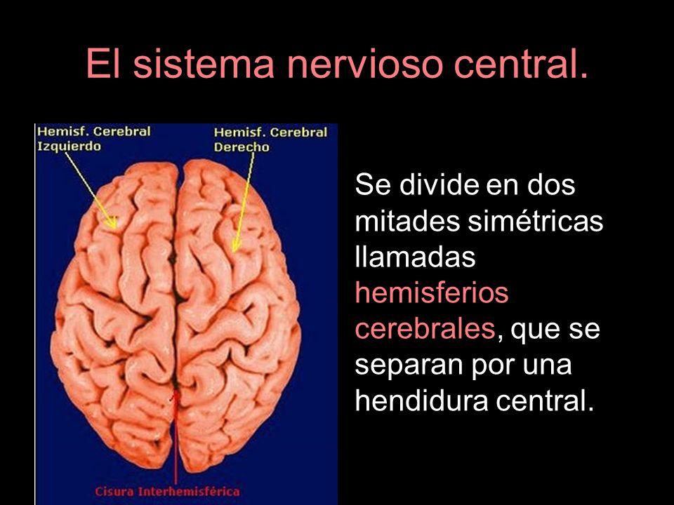 El sistema nervioso central. Se divide en dos mitades simétricas llamadas hemisferios cerebrales, que se separan por una hendidura central.