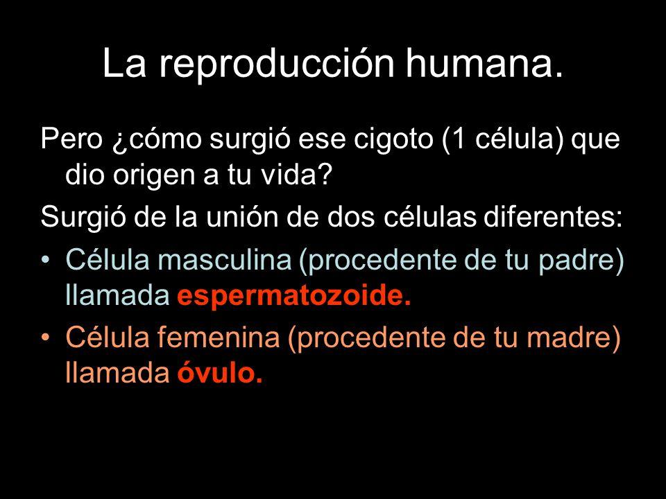 La reproducción humana. Pero ¿cómo surgió ese cigoto (1 célula) que dio origen a tu vida? Surgió de la unión de dos células diferentes: Célula masculi