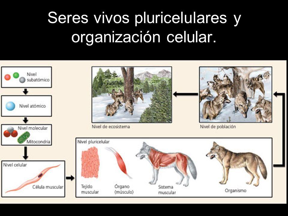 Los organismos pluricelulares son aquellos compuestos por muchas células.