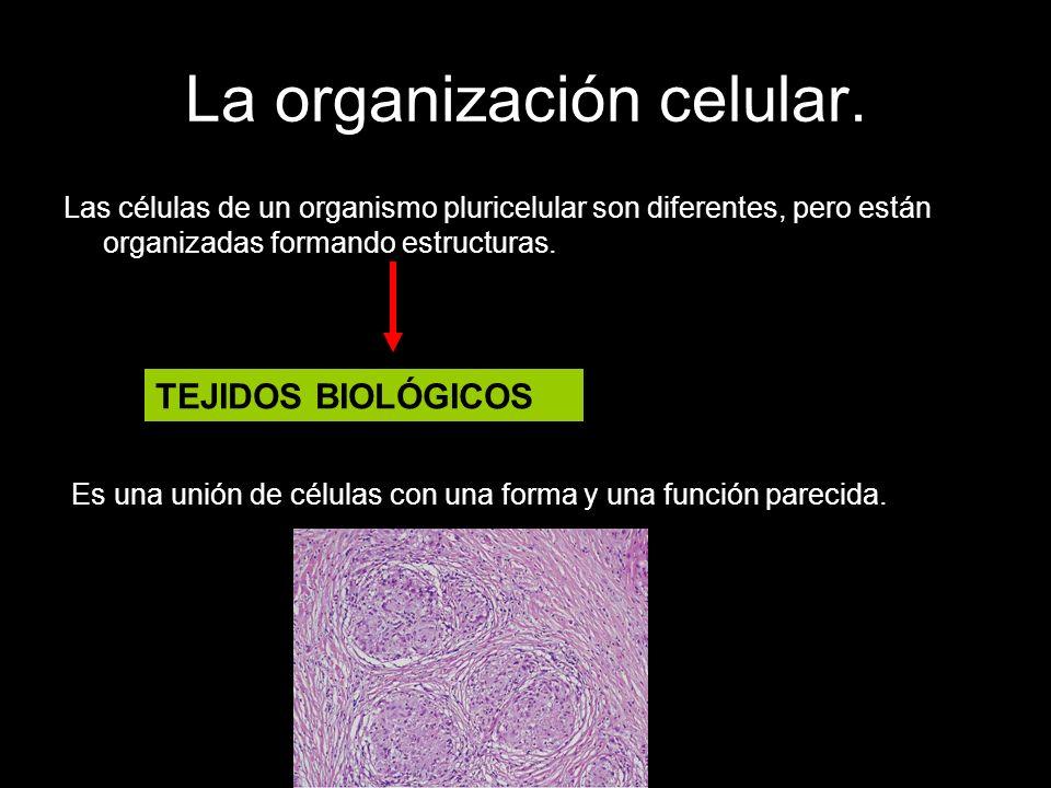 La organización celular. Las células de un organismo pluricelular son diferentes, pero están organizadas formando estructuras. Es una unión de células