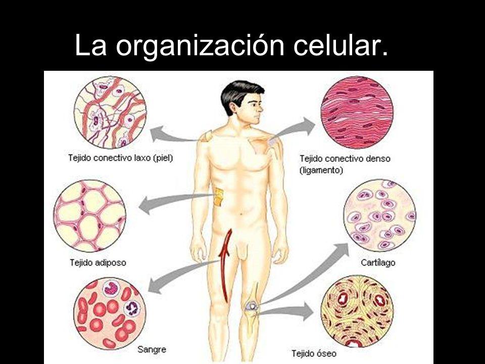 Las células se agrupan formando tejidos.