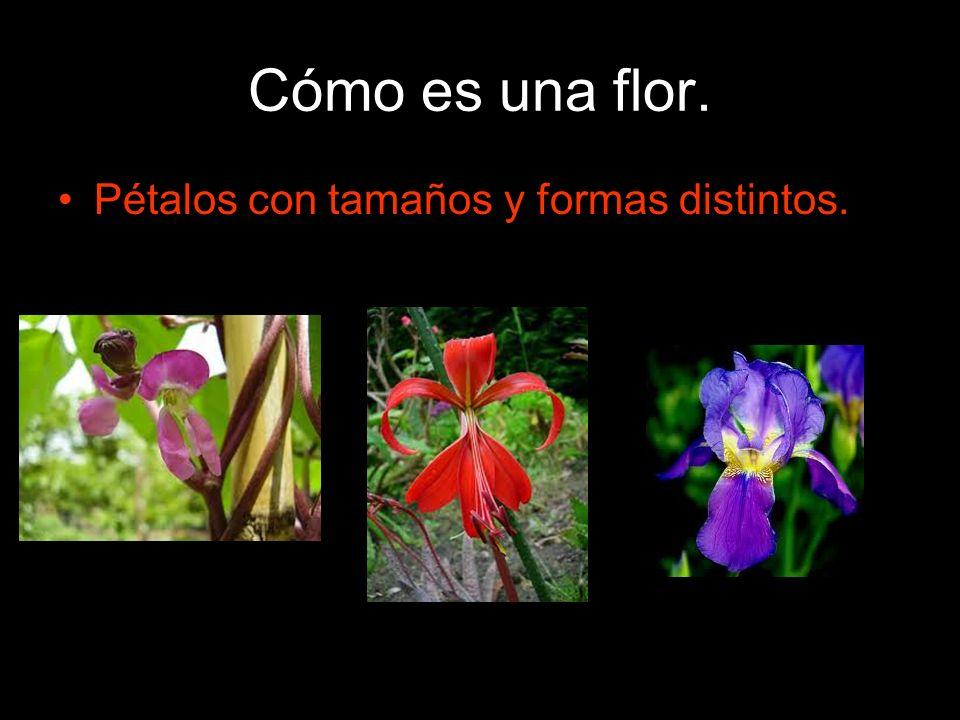 Cómo es una flor. Pétalos con tamaños y formas distintos.