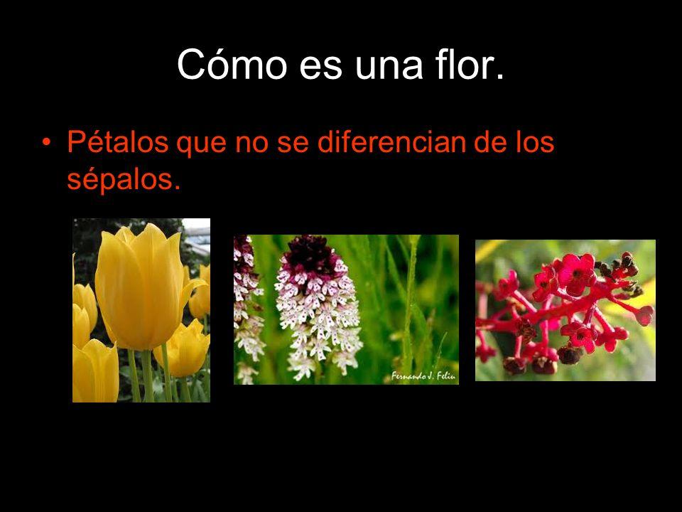 Cómo es una flor. Pétalos que no se diferencian de los sépalos.