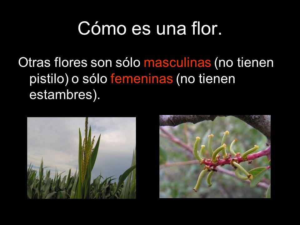 Cómo es una flor. Otras flores son sólo masculinas (no tienen pistilo) o sólo femeninas (no tienen estambres).