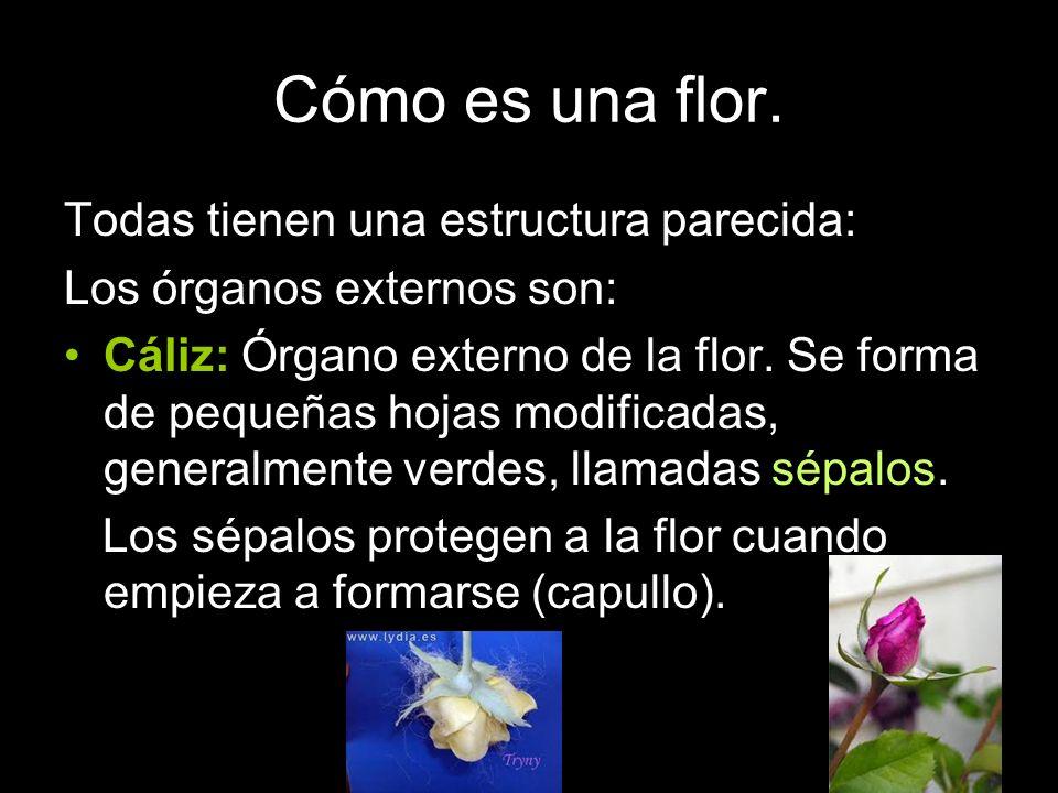 Cómo es una flor. Todas tienen una estructura parecida: Los órganos externos son: Cáliz: Órgano externo de la flor. Se forma de pequeñas hojas modific