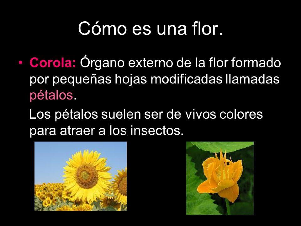 Cómo es una flor. Corola: Órgano externo de la flor formado por pequeñas hojas modificadas llamadas pétalos. Los pétalos suelen ser de vivos colores p