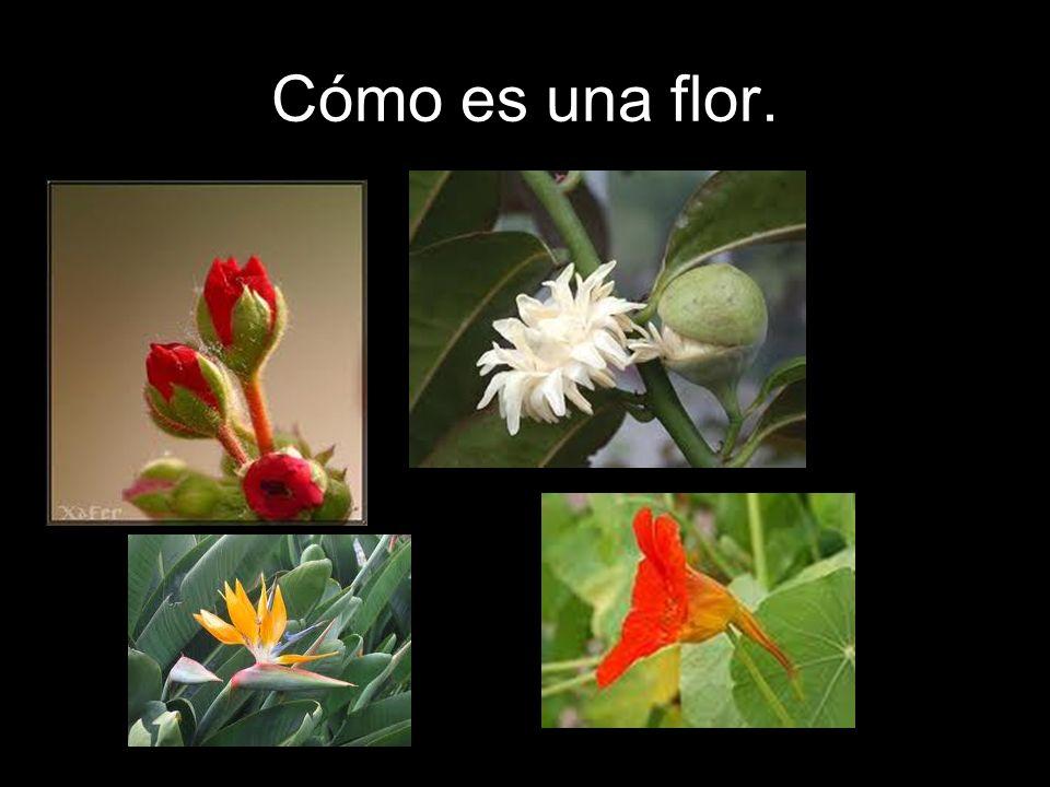 Hay flores hermafroditas, ya que fabrican tanto óvulos como espermatozoides (tienen pistilo y estambres).