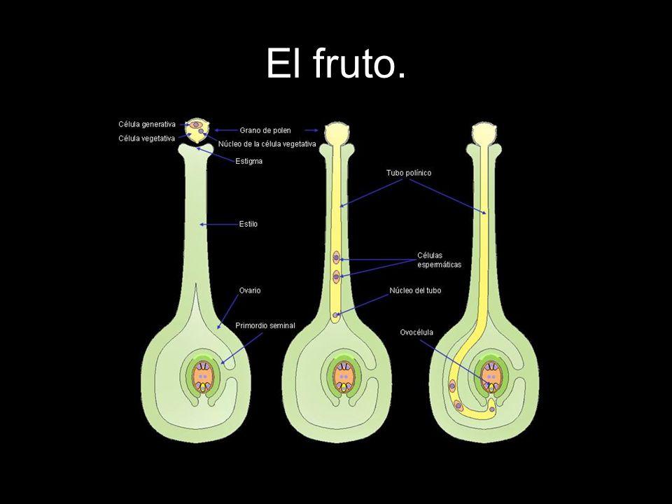 LA FORMACIÓN DE LA SEMILLA: Como resultado de la fecundación, en cada óvulo se forma un cigoto (unión de un óvulo y un espermatozoide en las plantas), que se divide celularmente y crece hasta formar un embrión.