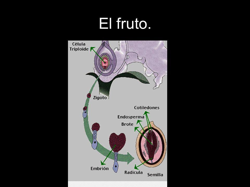Cuando la semilla se ha dispersado (viento, animales o agua) lejos de la planta madre y encuentra un suelo con la humedad y temperatura adecuadas, el embrión empieza a crecer.