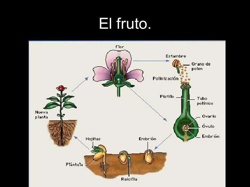 Mientras que se forman las semillas en el ovario del pistilo, éste crece y se modifica hasta convertirse en un fruto.