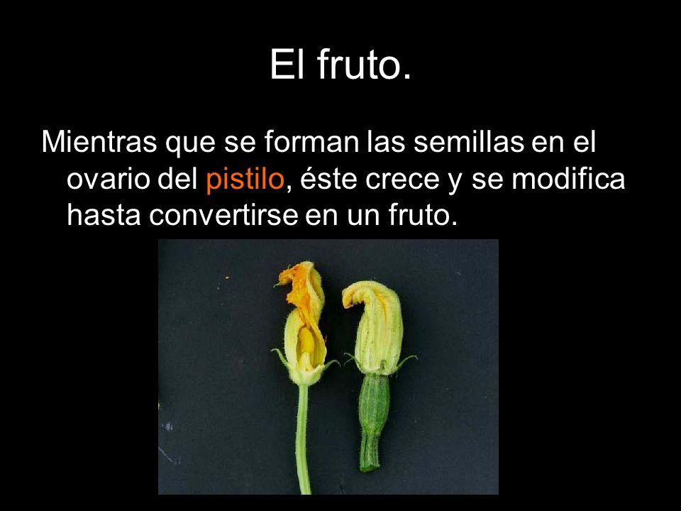 Los dos sistemas más comunes para la dispersión de las semillas son: 1.El viento: Es propia de semillas y frutos pequeños.