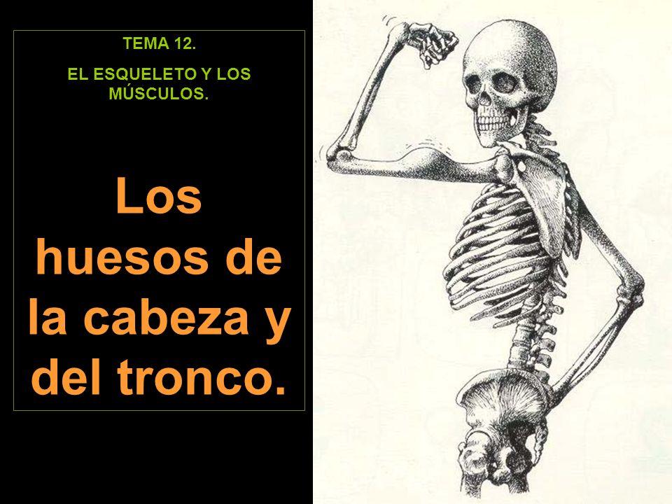 TEMA 12. EL ESQUELETO Y LOS MÚSCULOS. Los huesos de la cabeza y del tronco.