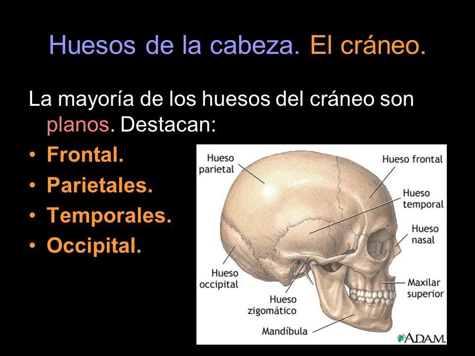 Huesos de la cabeza. El cráneo. La mayoría de los huesos del cráneo son planos. Destacan: Frontal. Parietales. Temporales. Occipital.