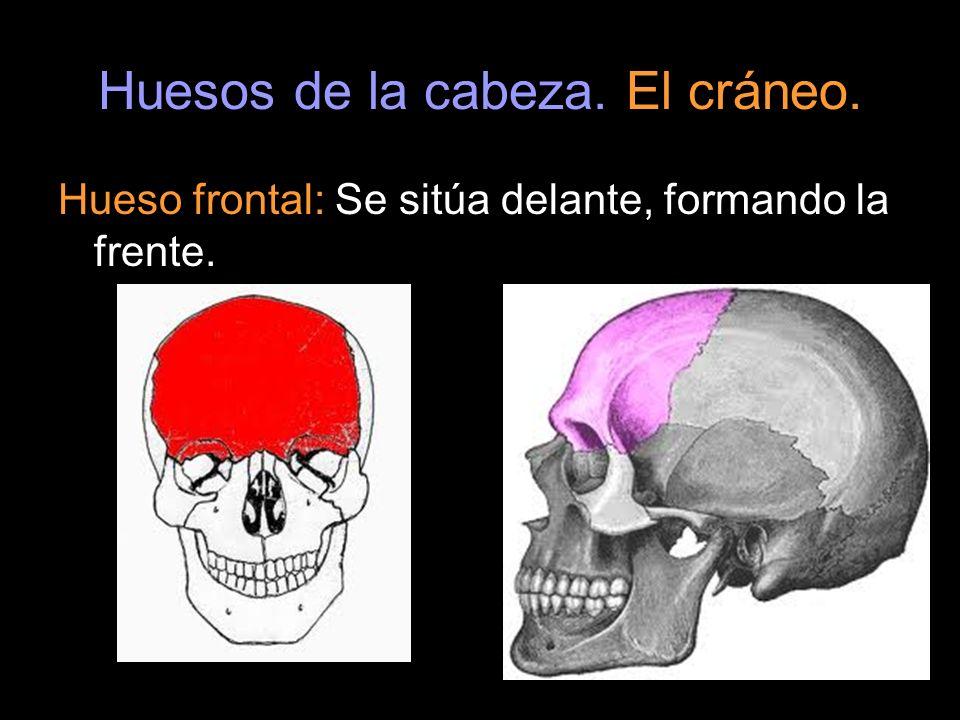 Huesos de la cabeza. El cráneo. Hueso frontal: Se sitúa delante, formando la frente.