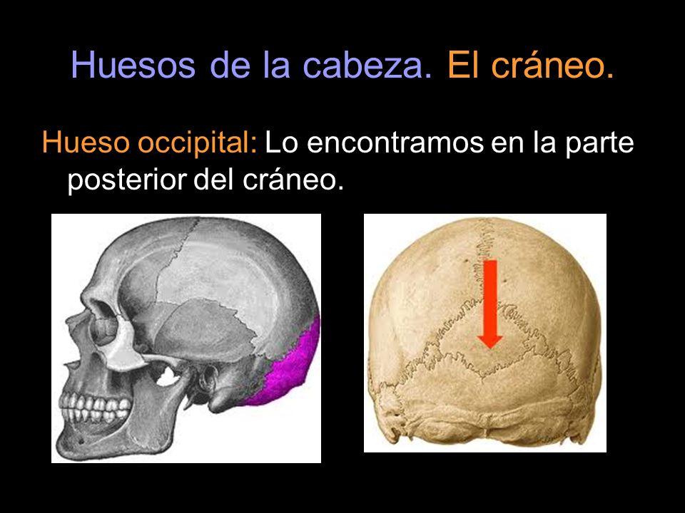 Huesos de la cabeza. El cráneo. Hueso occipital: Lo encontramos en la parte posterior del cráneo.