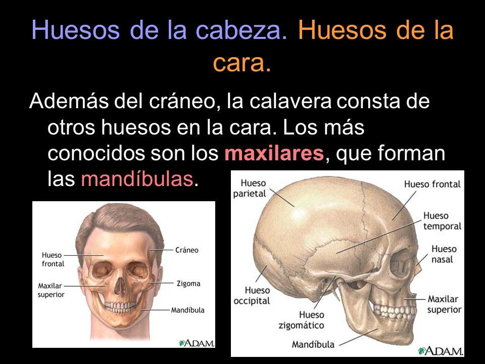 Huesos de la cabeza. Huesos de la cara. Además del cráneo, la calavera consta de otros huesos en la cara. Los más conocidos son los maxilares, que for
